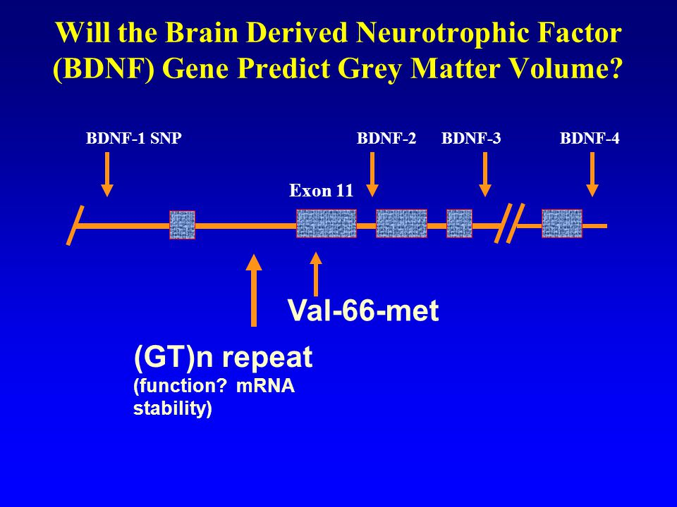 (GT)n repeat (function mRNA stability)