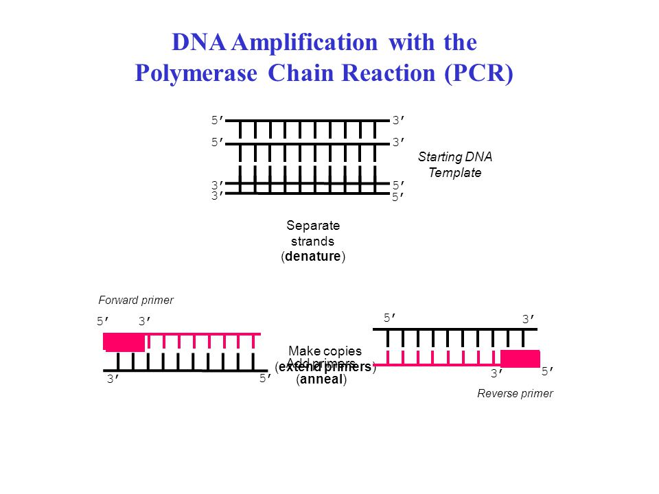 DNA Amplification with the Polymerase Chain Reaction (PCR)