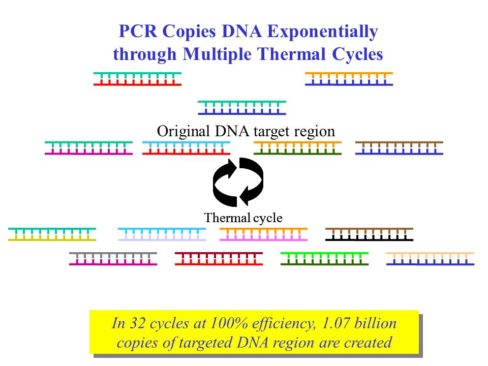 PCR Copies DNA Exponentially through Multiple Thermal Cycles