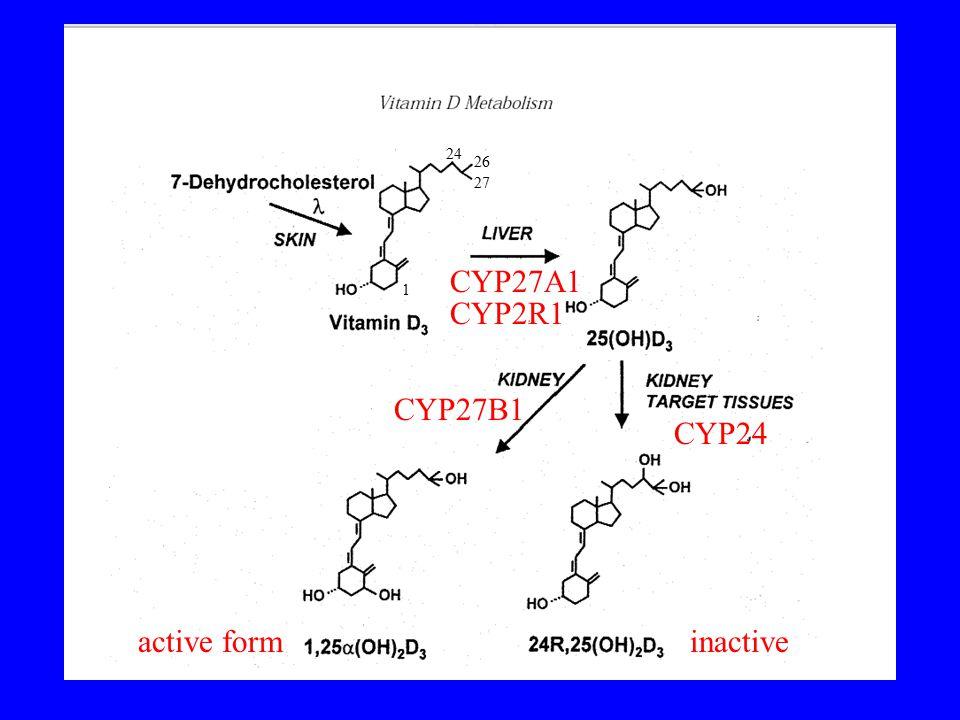 24 26 27 CYP27A1 1 CYP2R1 CYP27B1 CYP24 active form inactive