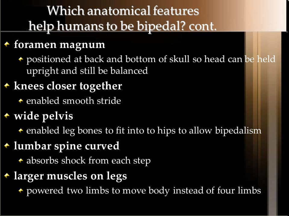 Which anatomical features help humans to be bipedal cont.