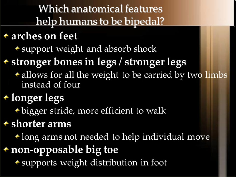 Which anatomical features help humans to be bipedal