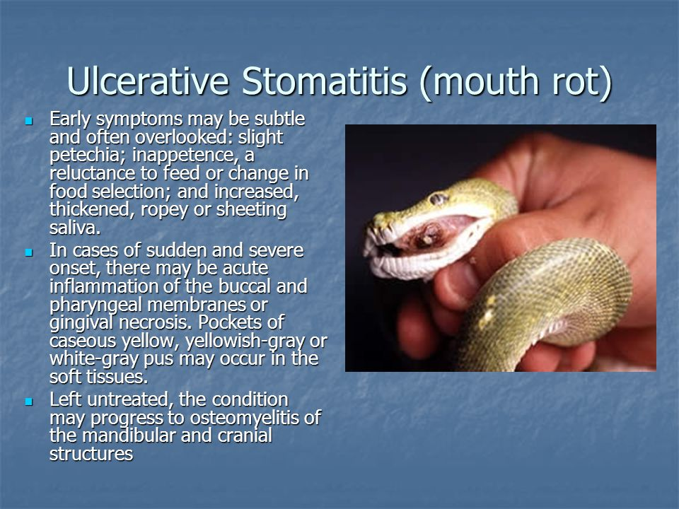 Ulcerative Stomatitis (mouth rot)