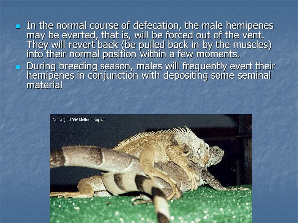 In the normal course of defecation, the male hemipenes may be everted, that is, will be forced out of the vent. They will revert back (be pulled back in by the muscles) into their normal position within a few moments.