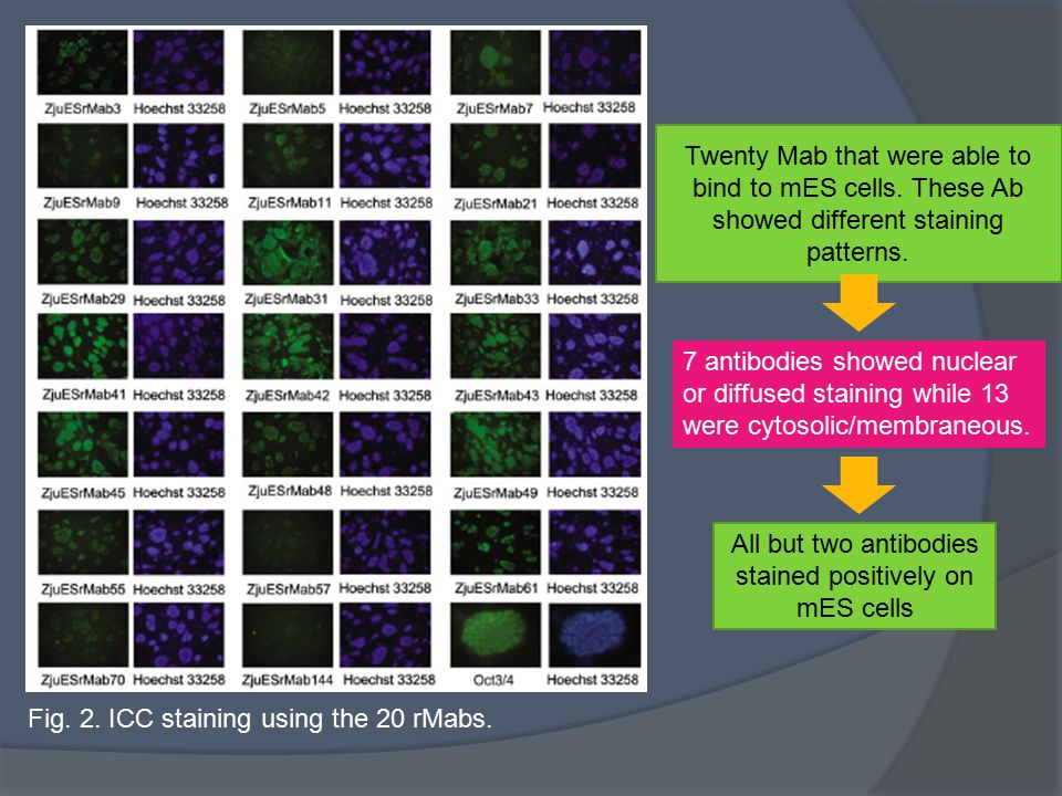 All but two antibodies stained positively on mES cells