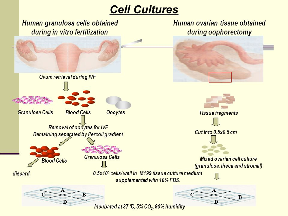 Cell Cultures Human granulosa cells obtained