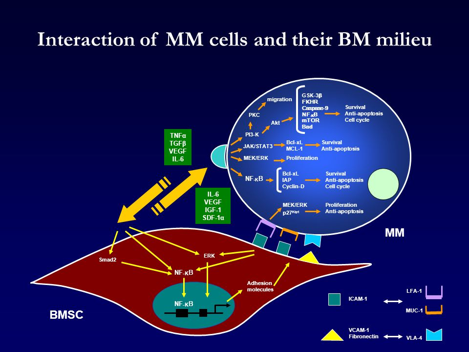 Interaction of MM cells and their BM milieu