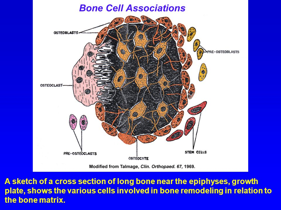 A sketch of a cross section of long bone near the epiphyses, growth plate, shows the various cells involved in bone remodeling in relation to the bone matrix.