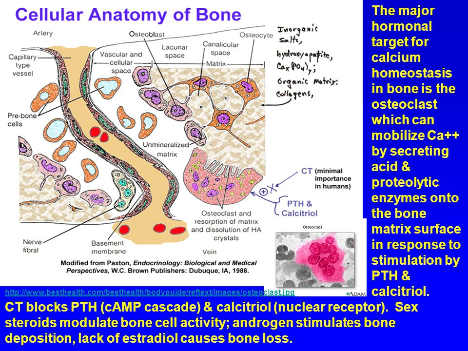The major hormonal target for calcium homeostasis in bone is the osteoclast which can mobilize Ca++ by secreting acid & proteolytic enzymes onto the bone matrix surface in response to stimulation by PTH & calcitriol.