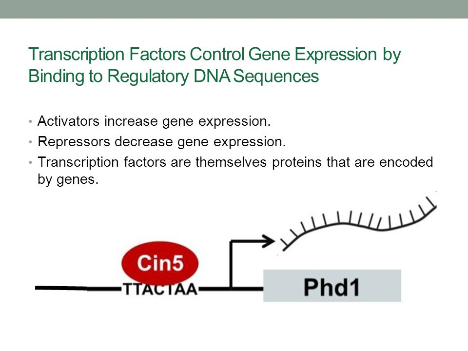 Transcription Factors Control Gene Expression by Binding to Regulatory DNA Sequences