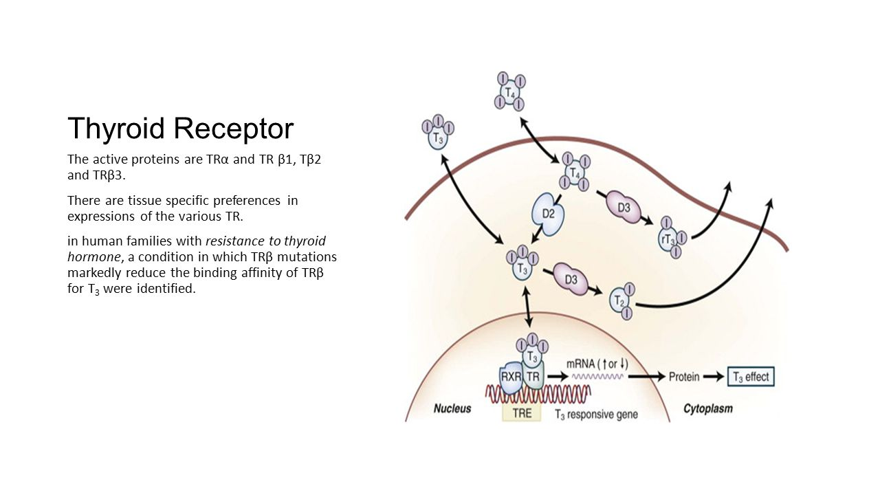 Thyroid Receptor The active proteins are TRα and TR β1, Tβ2 and TRβ3.