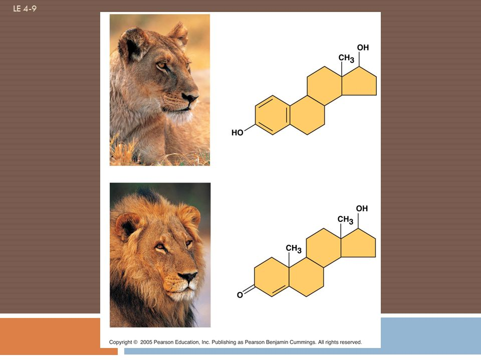 LE 4-9 Estradiol Female lion Testosterone Male lion