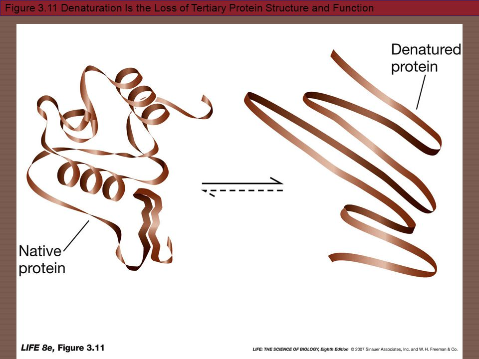 Figure 3.11 Denaturation Is the Loss of Tertiary Protein Structure and Function