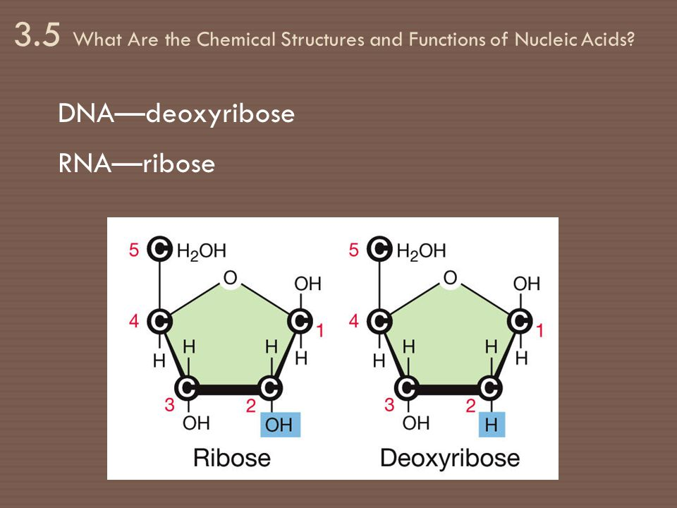 3.5 What Are the Chemical Structures and Functions of Nucleic Acids