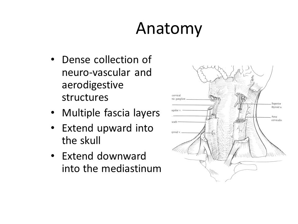 Anatomy Dense collection of neuro-vascular and aerodigestive structures. Multiple fascia layers. Extend upward into the skull.