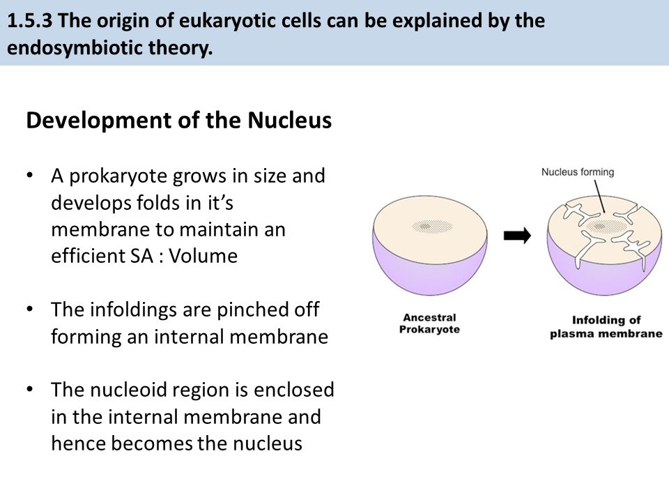 Development of the Nucleus