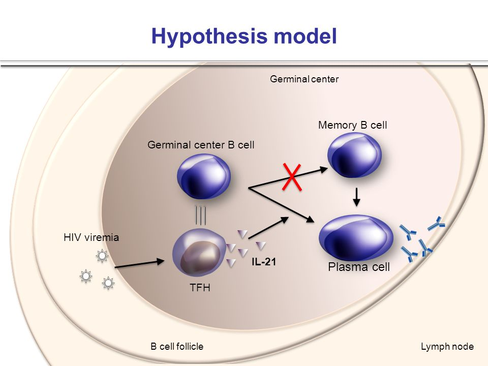 Hypothesis model Plasma cell Memory B cell Germinal center B cell