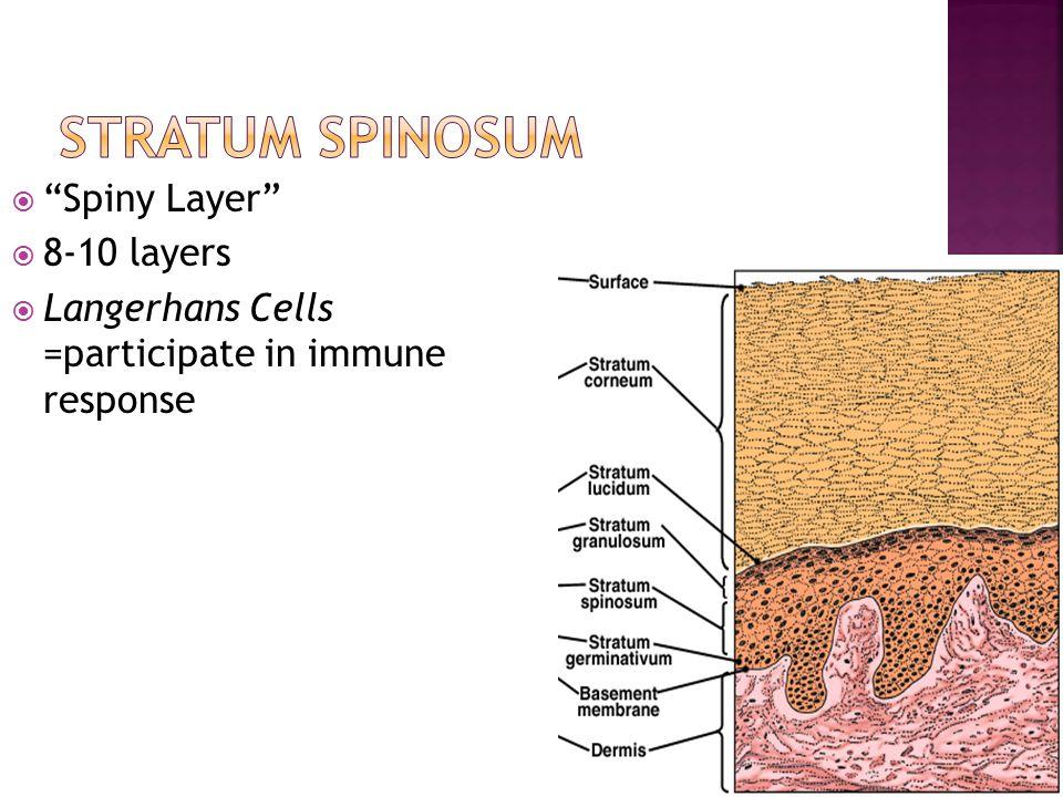 Stratum Spinosum Spiny Layer 8-10 layers