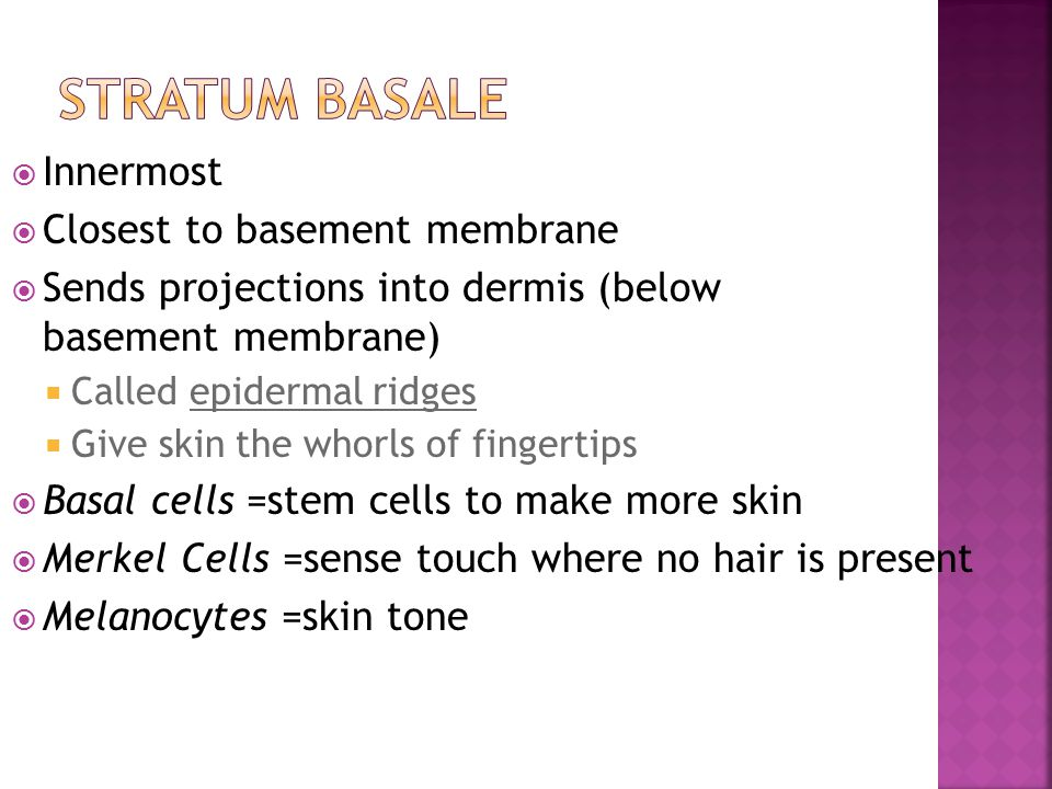 Stratum Basale Innermost Closest to basement membrane