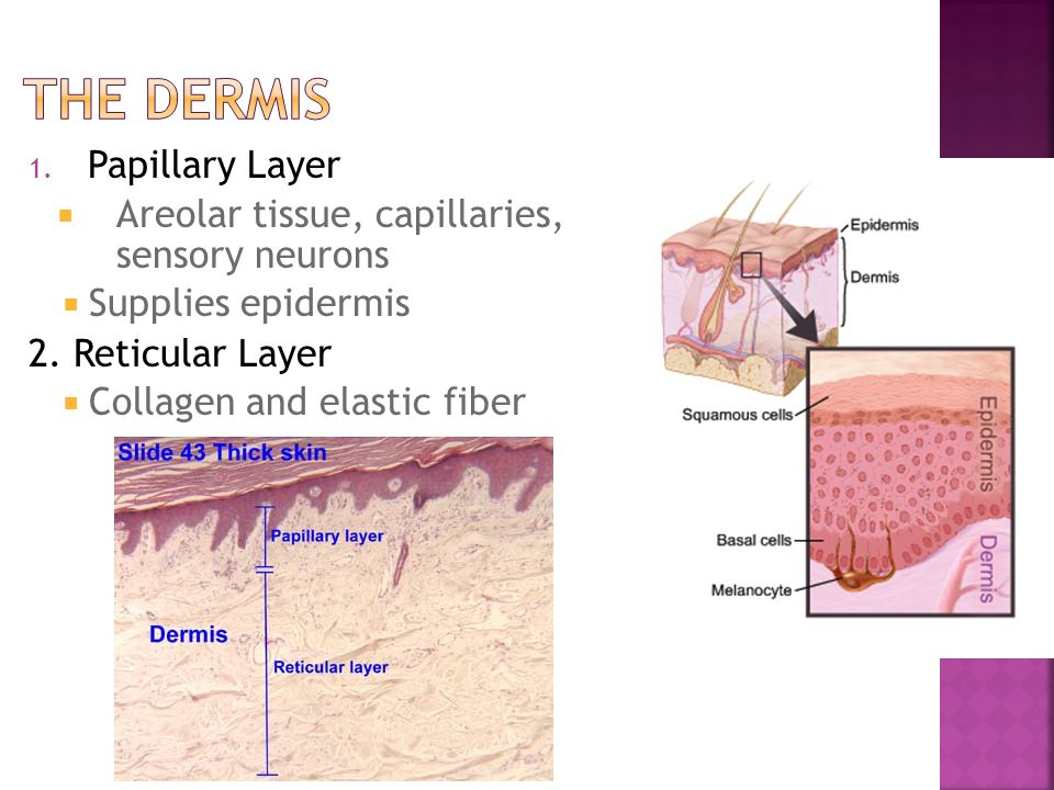 The Dermis Papillary Layer
