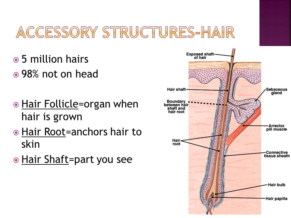 Accessory Structures-Hair