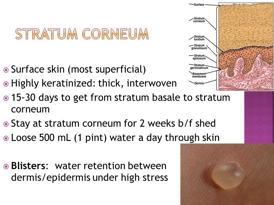 Stratum Corneum Surface skin (most superficial)