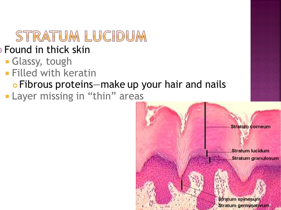 Stratum Lucidum Found in thick skin Glassy, tough Filled with keratin