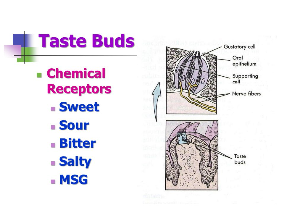 Taste Buds Chemical Receptors Sweet Sour Bitter Salty MSG