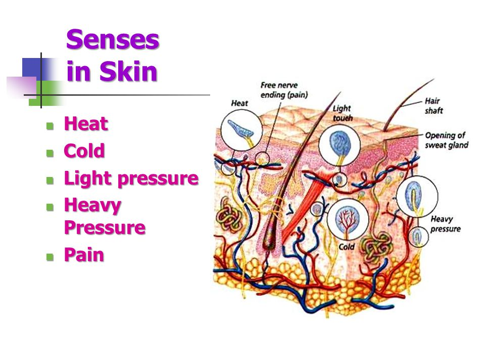 Senses in Skin Heat Cold Light pressure Heavy Pressure Pain