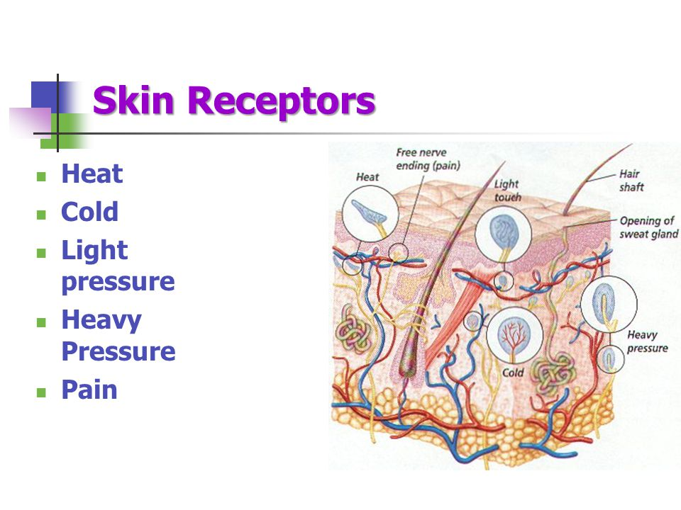 Skin Receptors Heat Cold Light pressure Heavy Pressure Pain