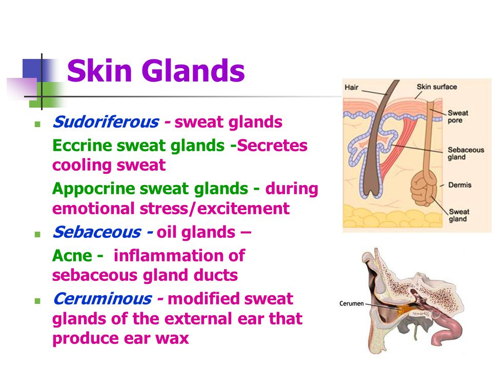 Skin Glands Sudoriferous - sweat glands