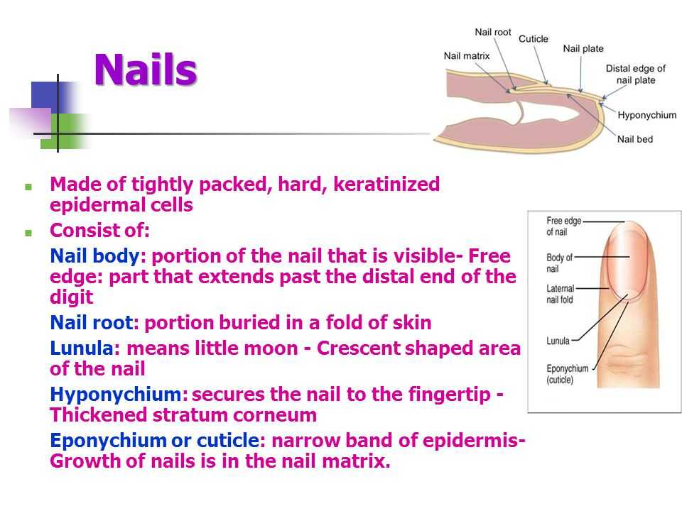 Nails Made of tightly packed, hard, keratinized epidermal cells