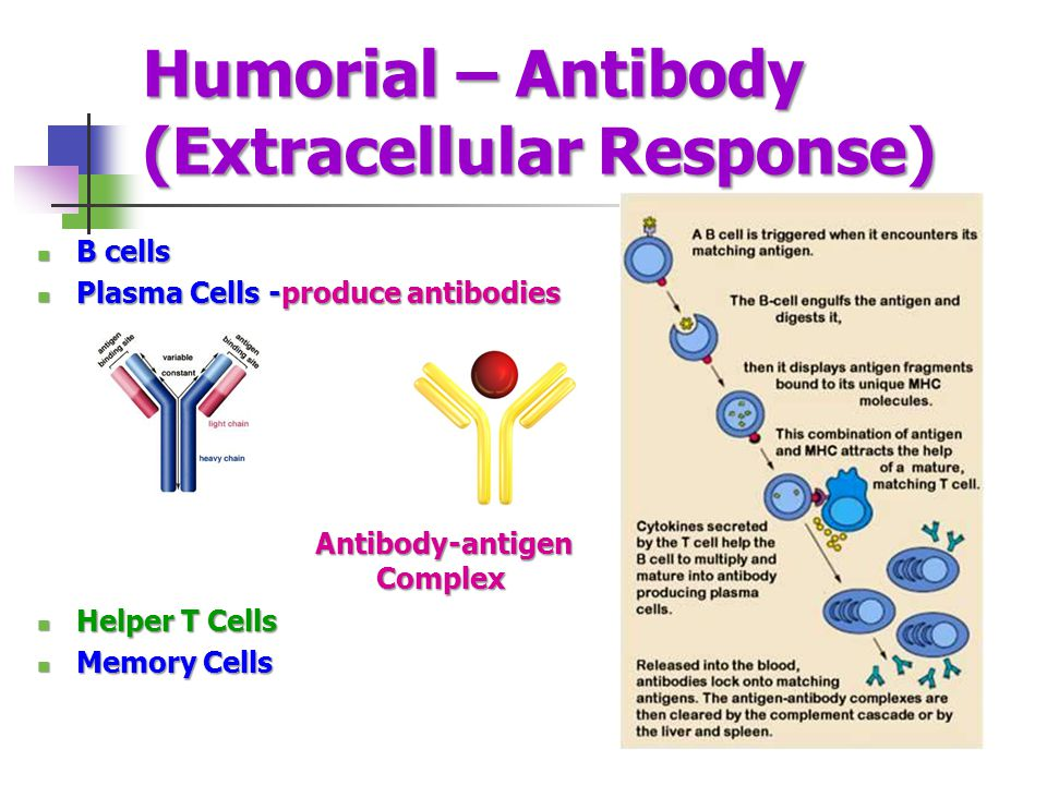Humorial – Antibody (Extracellular Response)
