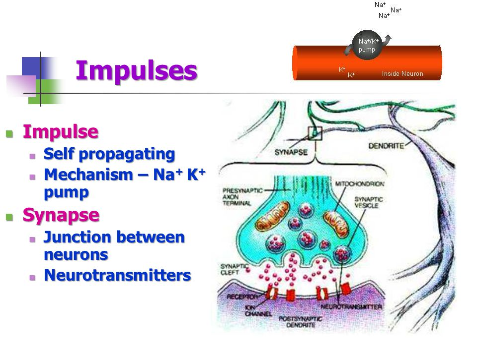 Impulses Impulse Synapse Self propagating Mechanism – Na+ K+ pump