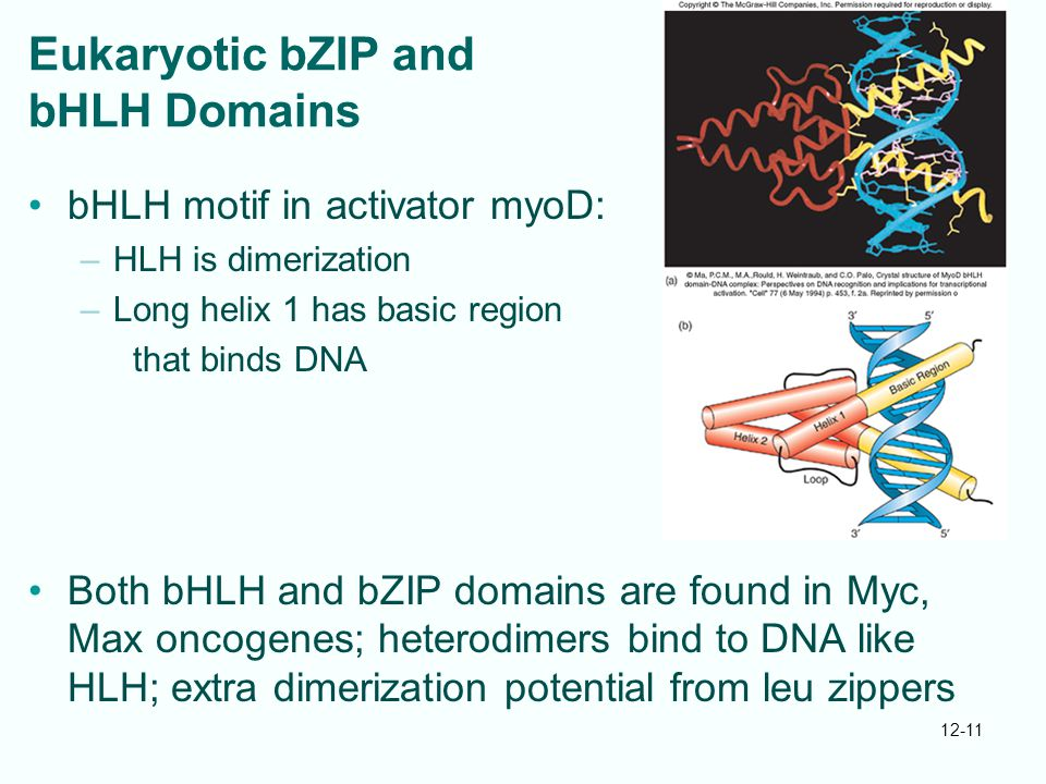 Eukaryotic bZIP and bHLH Domains