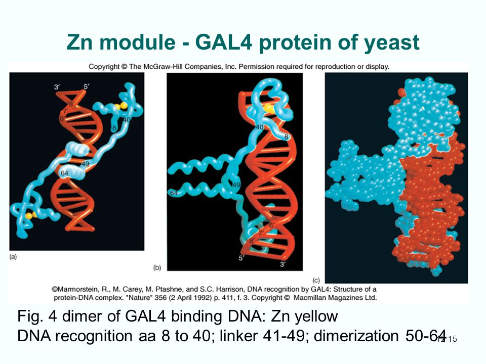 Zn module - GAL4 protein of yeast