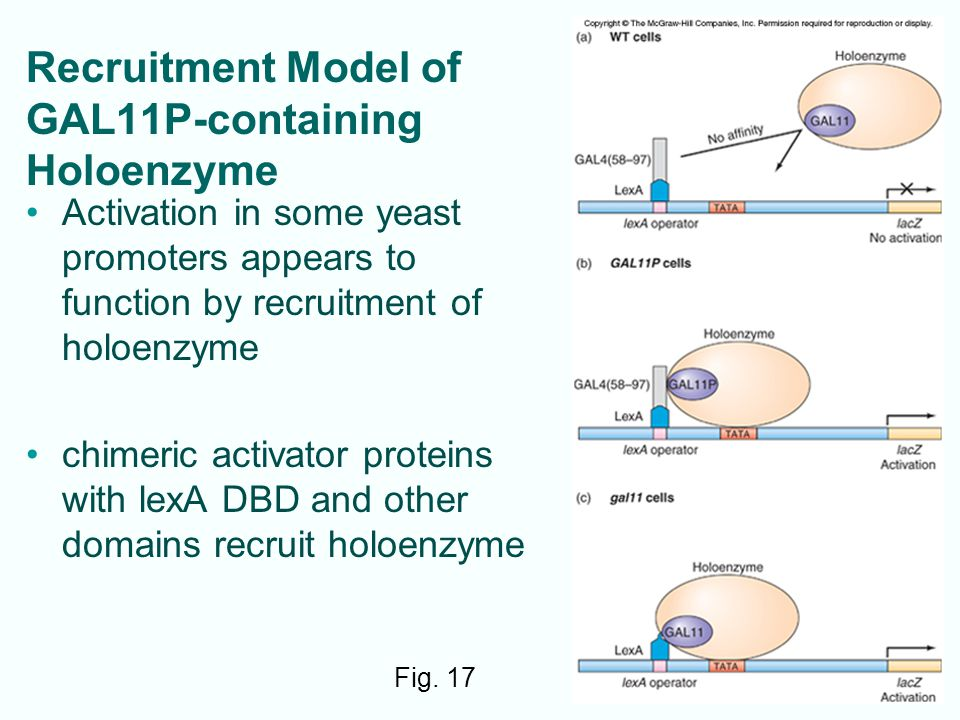 Recruitment Model of GAL11P-containing Holoenzyme