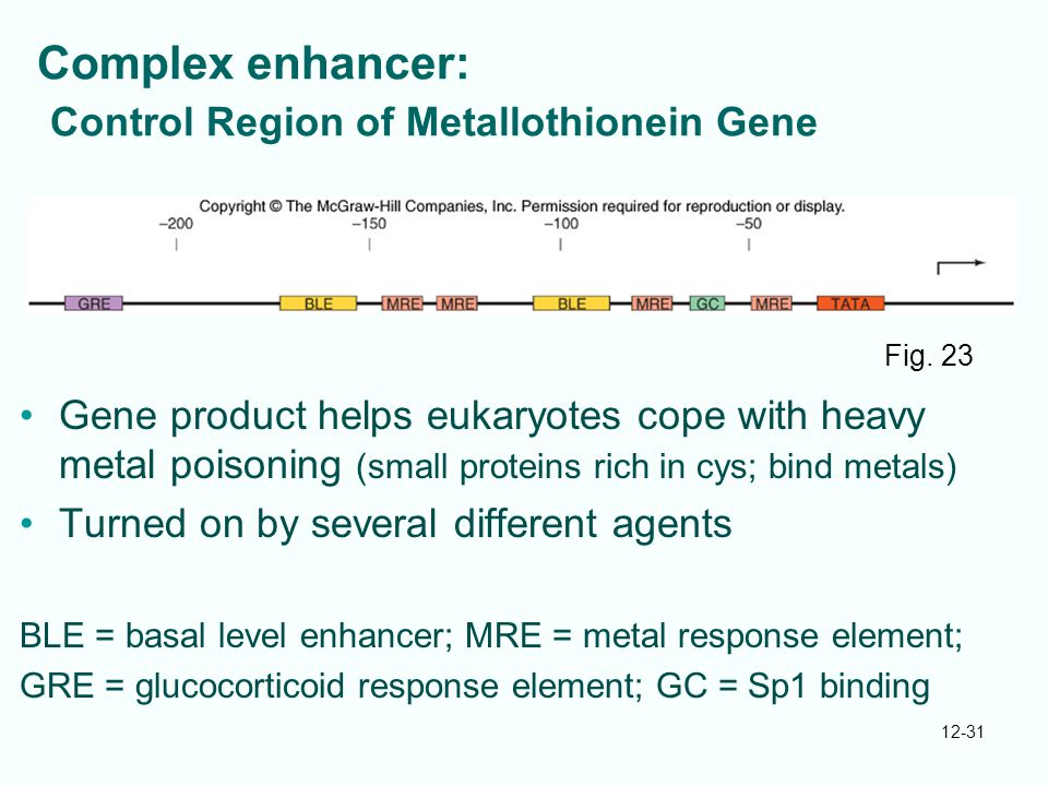 Complex enhancer: Control Region of Metallothionein Gene
