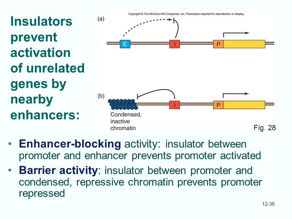 Insulators prevent activation of unrelated genes by nearby enhancers:
