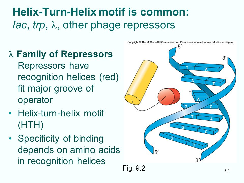 Helix-Turn-Helix motif is common: lac, trp, l, other phage repressors