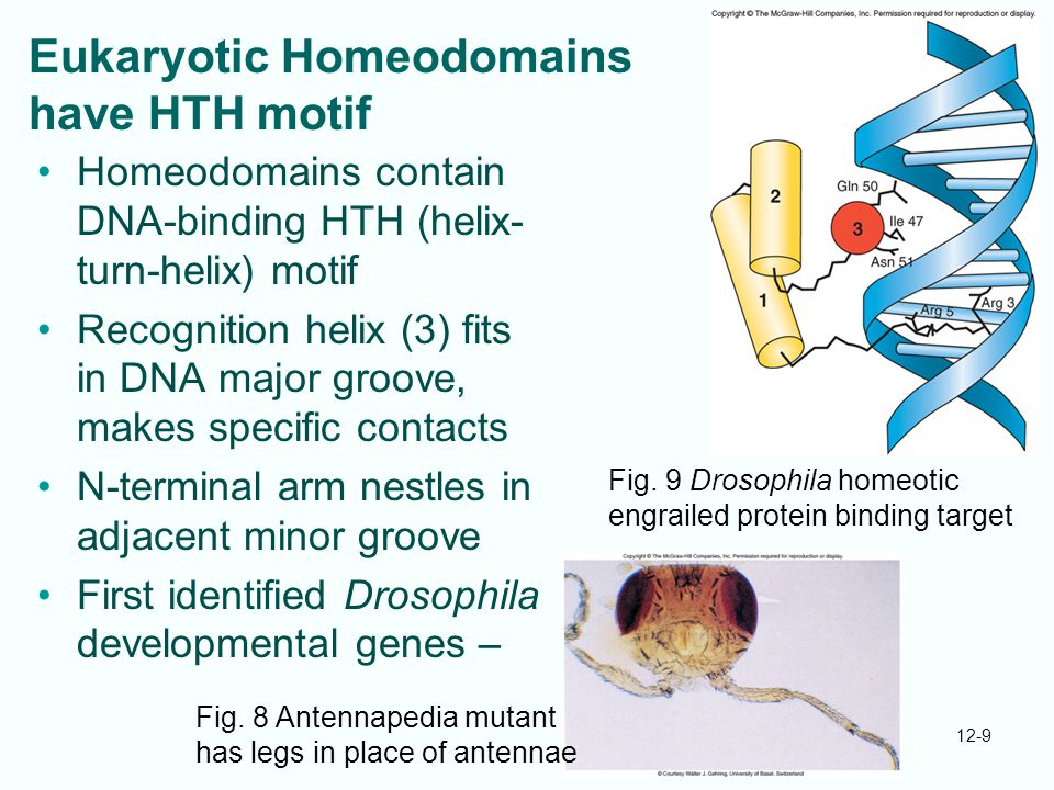 Eukaryotic Homeodomains have HTH motif