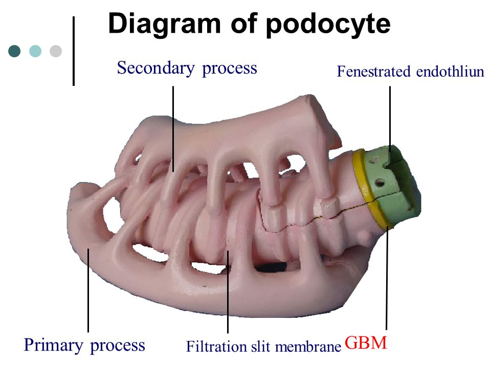 Diagram of podocyte Secondary process GBM Primary process