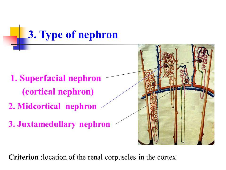 3. Type of nephron 1. Superfacial nephron (cortical nephron)