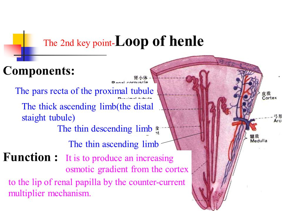 Components: Function : The 2nd key point-Loop of henle