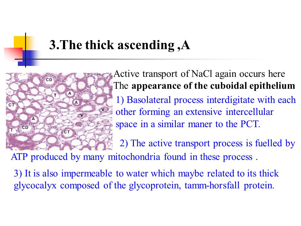 3.The thick ascending ,A Active transport of NaCl again occurs here