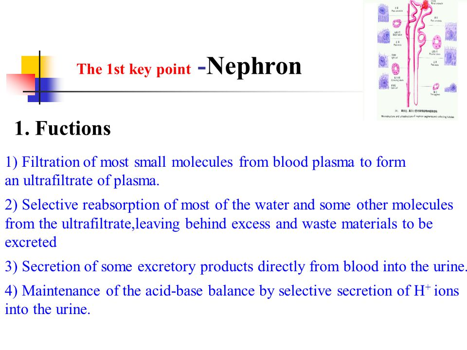1. Fuctions The 1st key point -Nephron