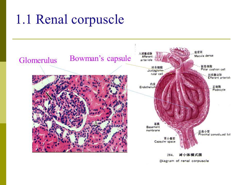 1.1 Renal corpuscle Bowman's capsule Glomerulus