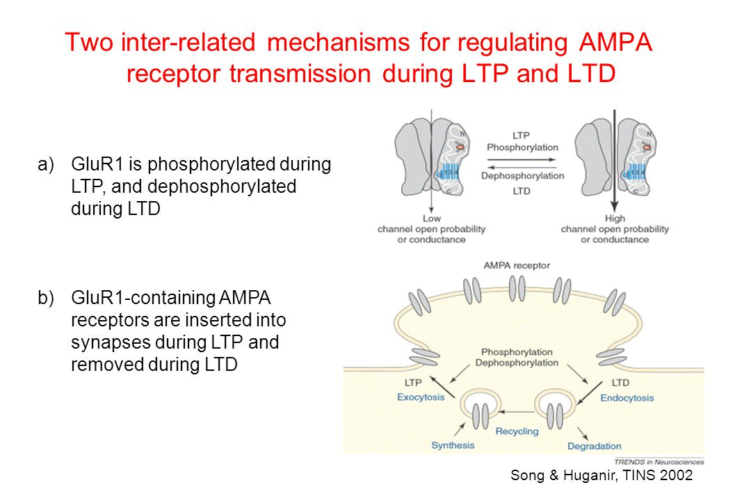 Two inter-related mechanisms for regulating AMPA receptor transmission during LTP and LTD