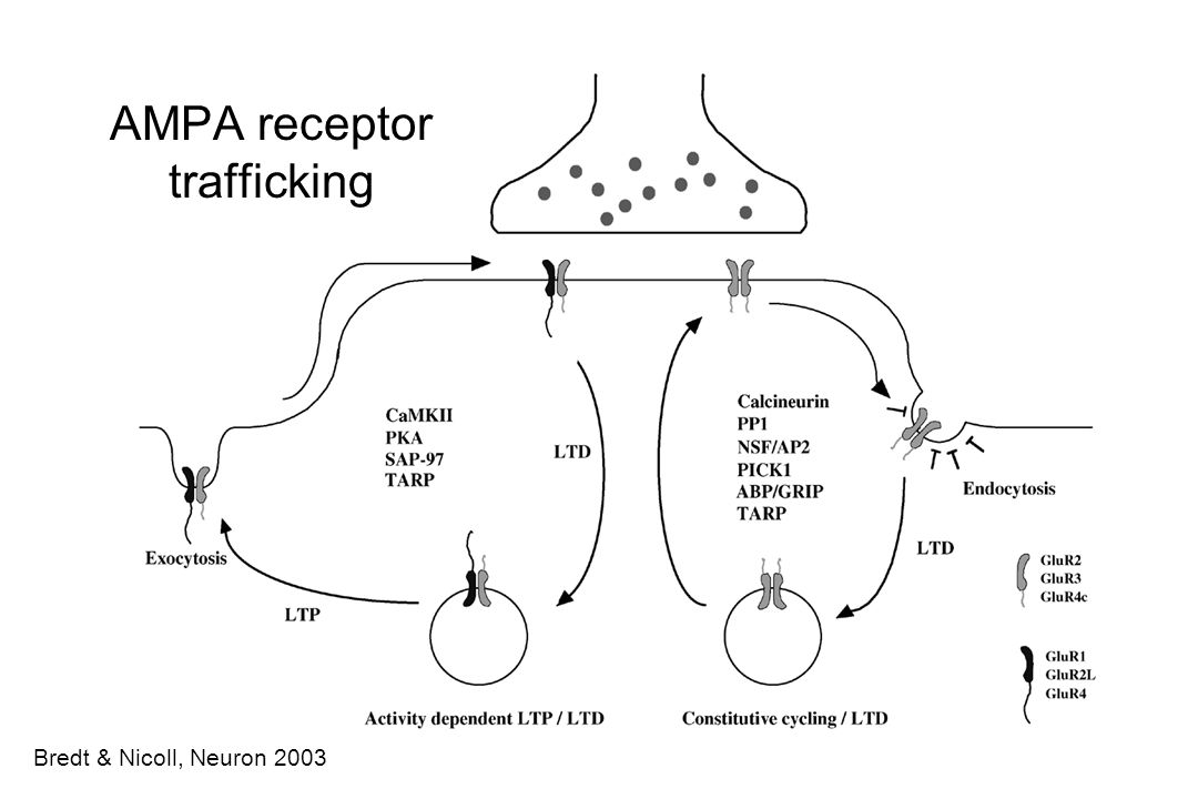 AMPA receptor trafficking