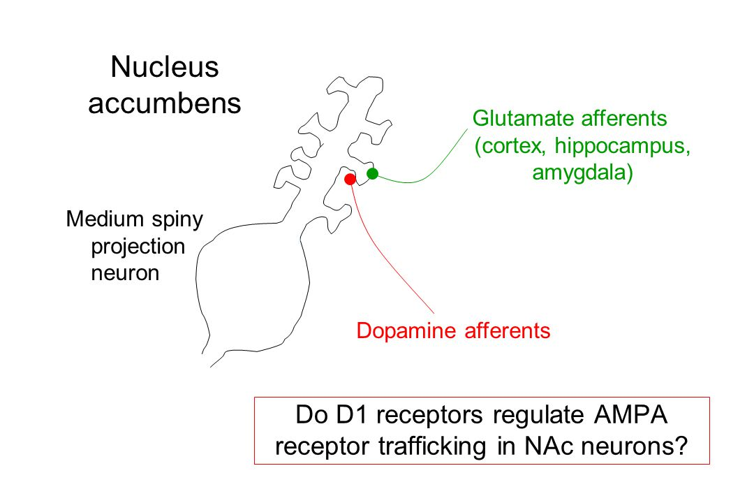 Do D1 receptors regulate AMPA receptor trafficking in NAc neurons